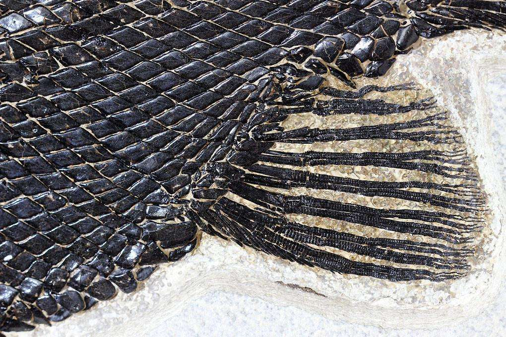 SPECTACULAR FOSSIL GAR FISH FROM WYOMING