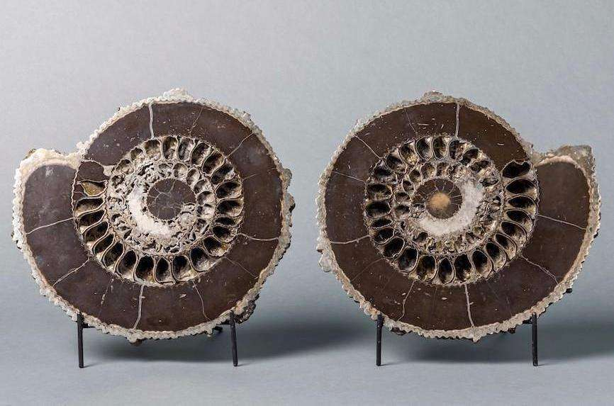 SPECTACULAR PYRITIZED AMMONITE PAIR FROM RUSSIA