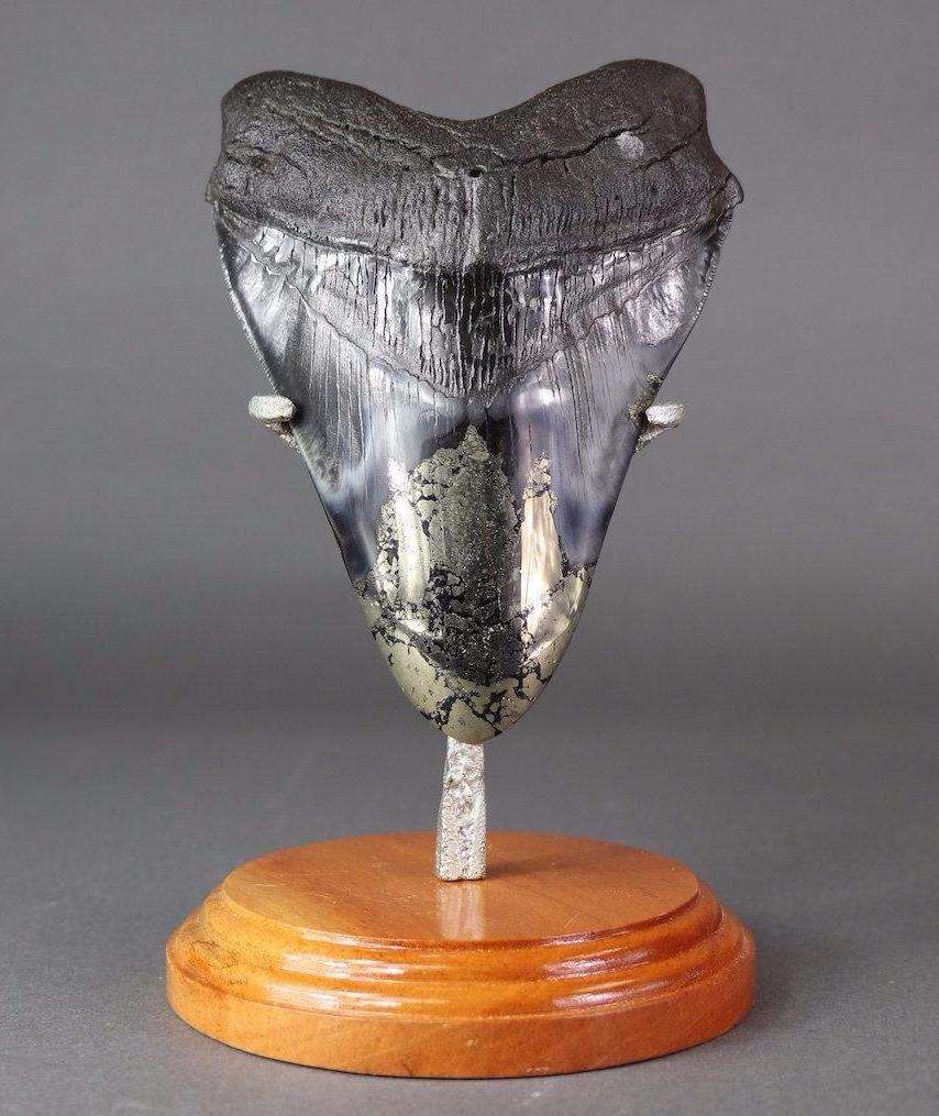 GIGANTIC MEGALODON TOOTH WITH PYRITE