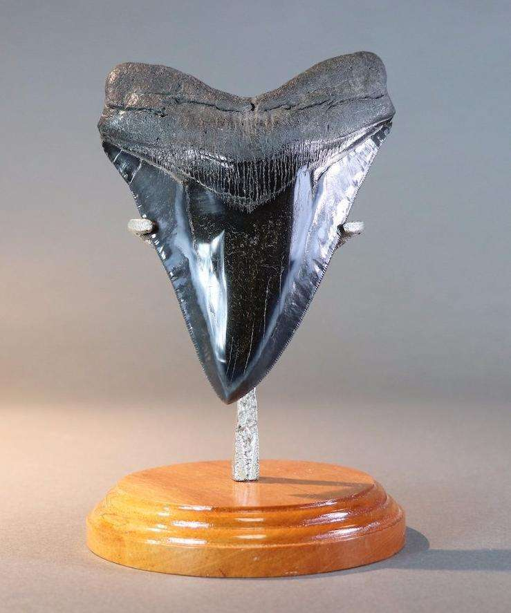 FANTASTIC MEGALODON TOOTH