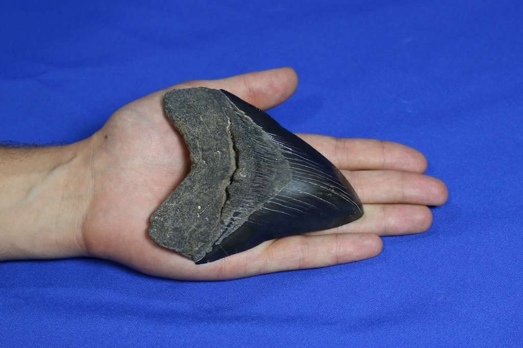 SUPERB MEGALODON FOSSIL SHARK TOOTH