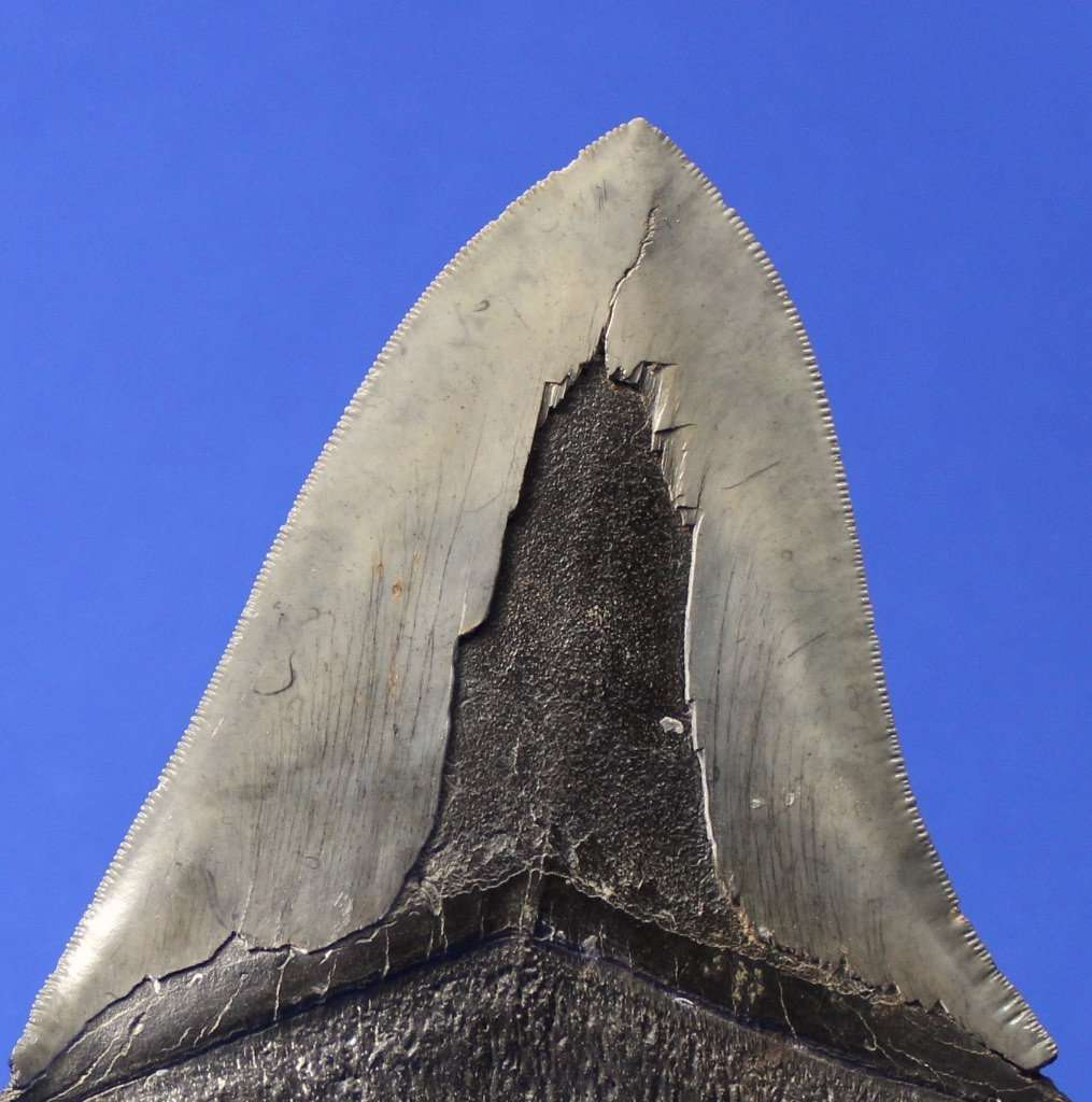 LARGE COMPLETE MEGALODON FOSSIL SHARK TOOTH