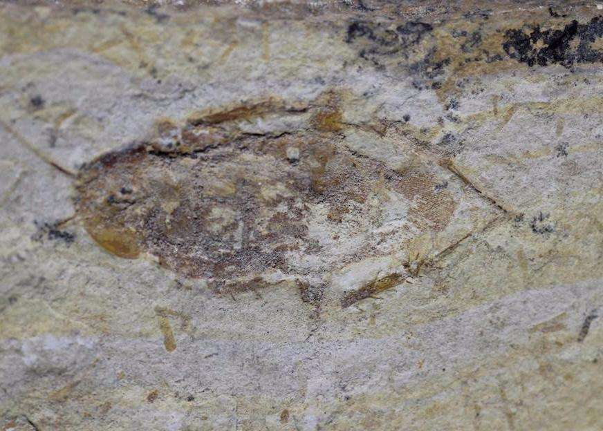 FOSSIL COCKROACH - CRATO FORMATION, BRAZIL