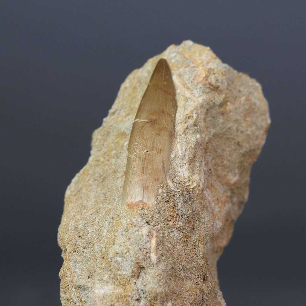 FOSSIL PLESIOSAUR TOOTH IN PHOSPHATE ROCK