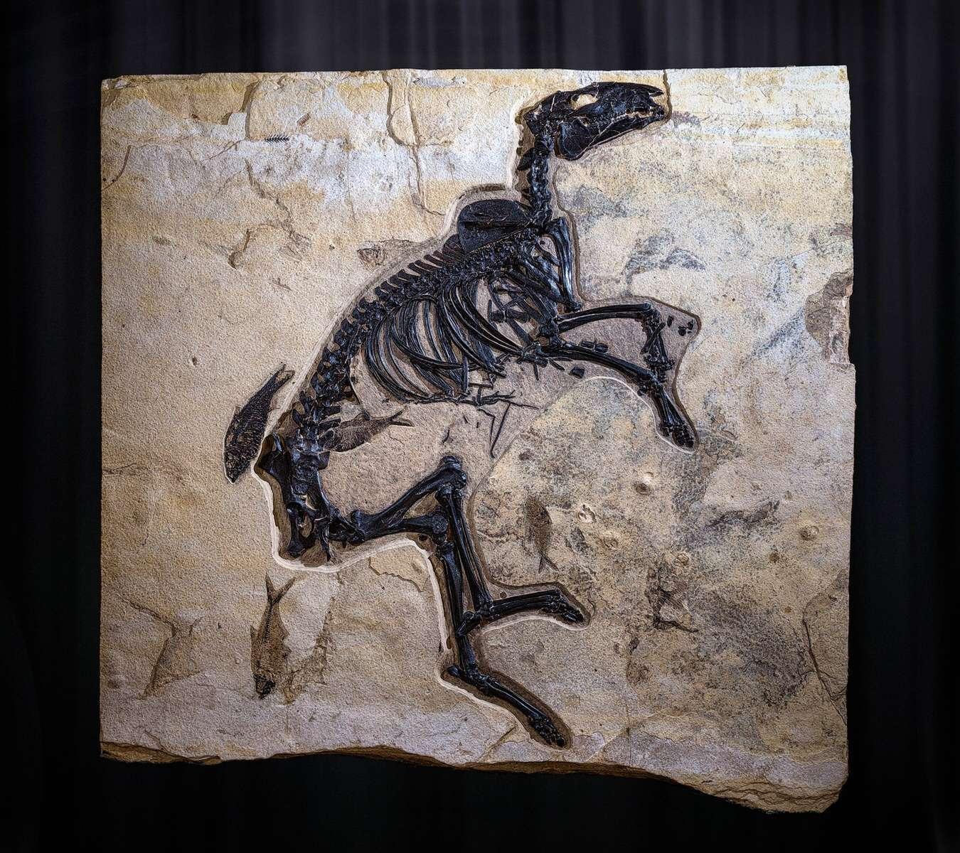 Ultra Rare Horse Fossil - Amazing Investment Calibre Specimen