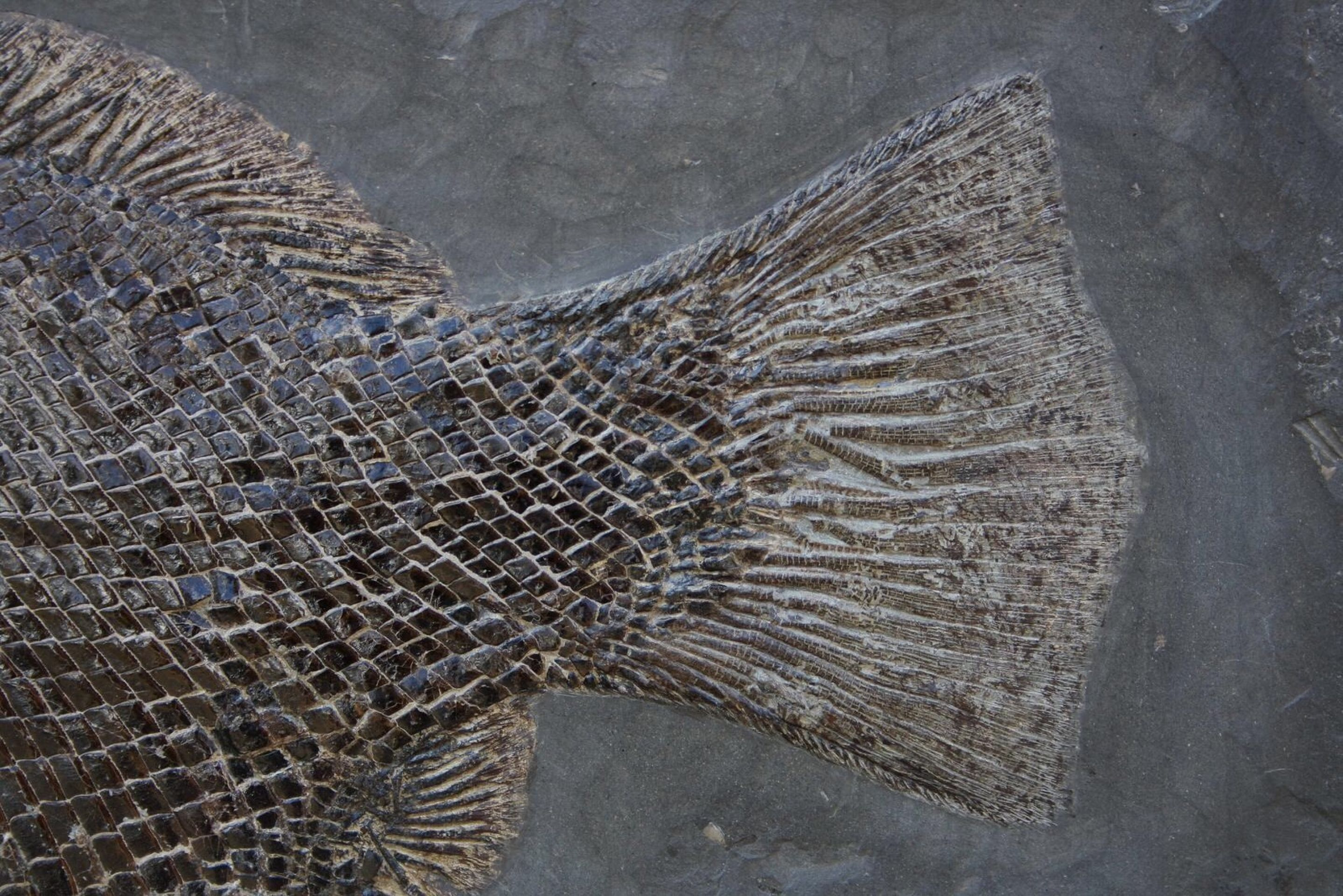 RARE DAPEDIUM FOSSIL FISH IN PYRITIZED AMMONITE SLAB - HOLZMADEN - 18.9 INCHES