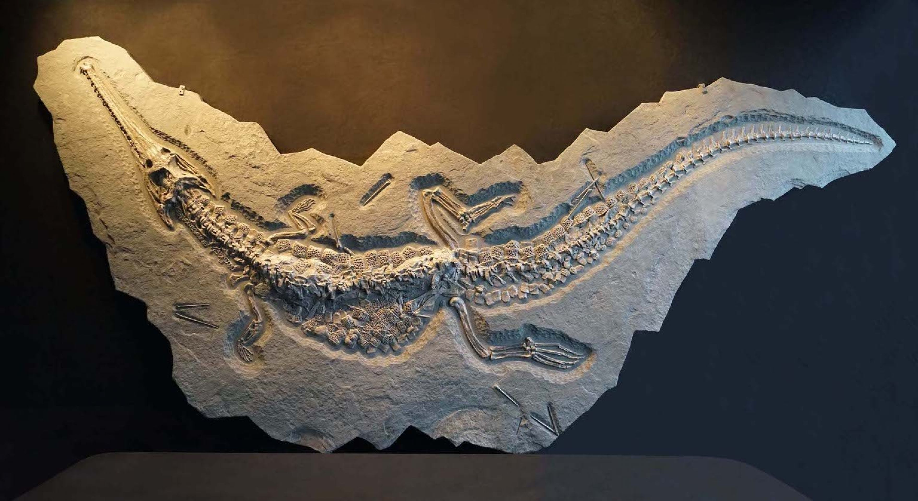 Ultra Rare Fossilized Crocodile Skeleton from Germany - 13.5 Feet Long