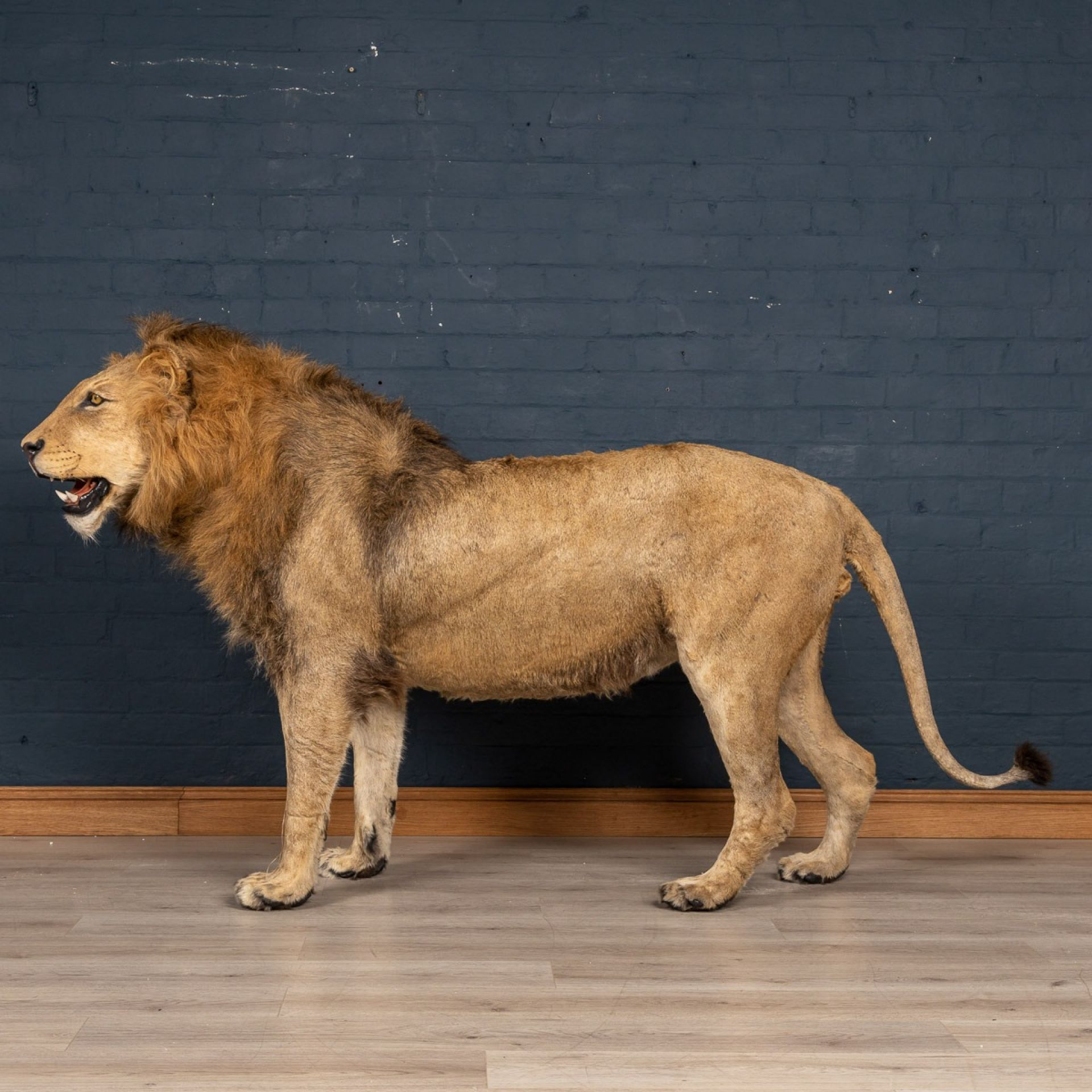 LATE 20TH CENTURY FULL MOUNT TAXIDERMY STUDY OF A MALE LION