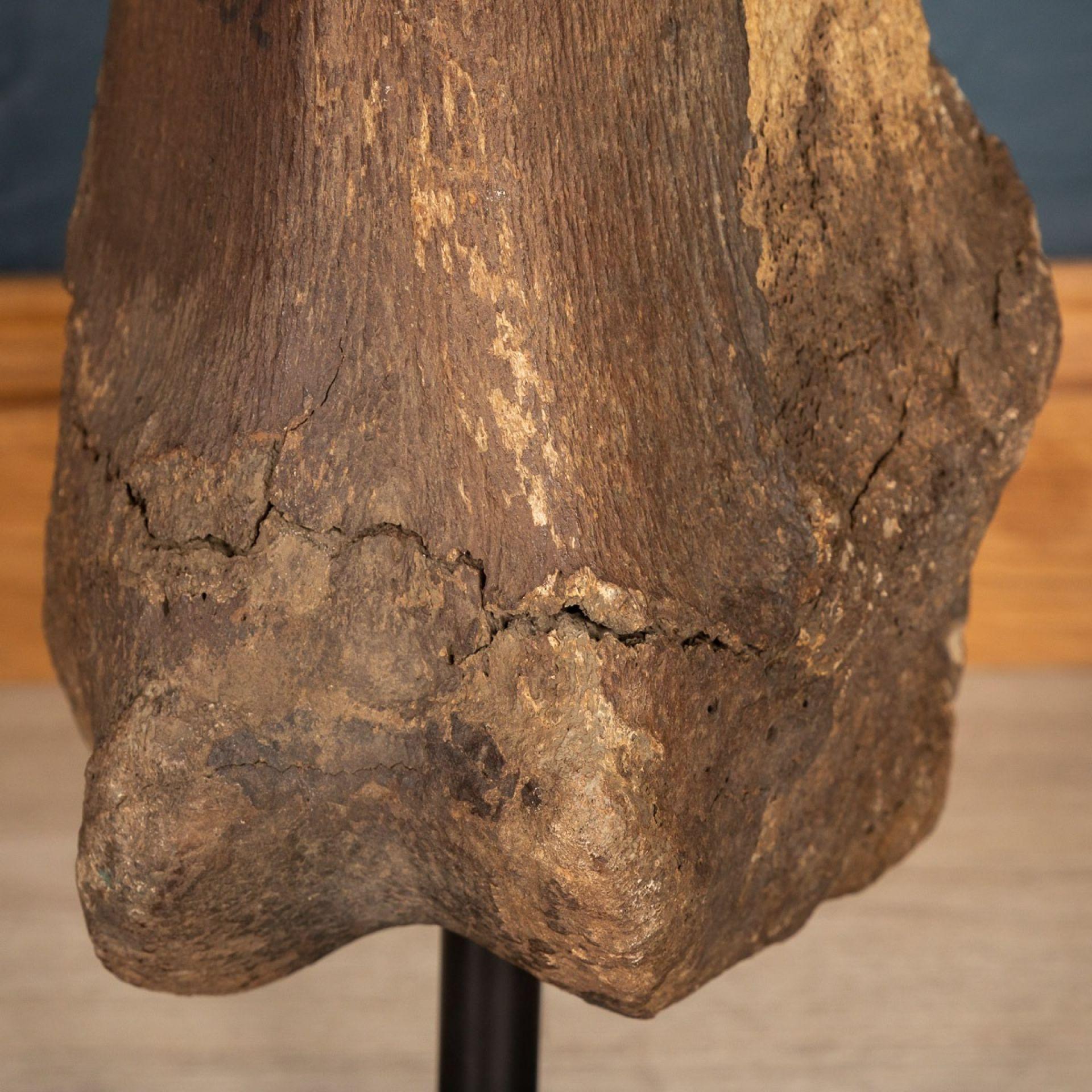 STUNNING PLEISTOCENE ERA NATURAL MAMMOTH FEMUR & TIBIA, YAKUTIA (SIBERIA)