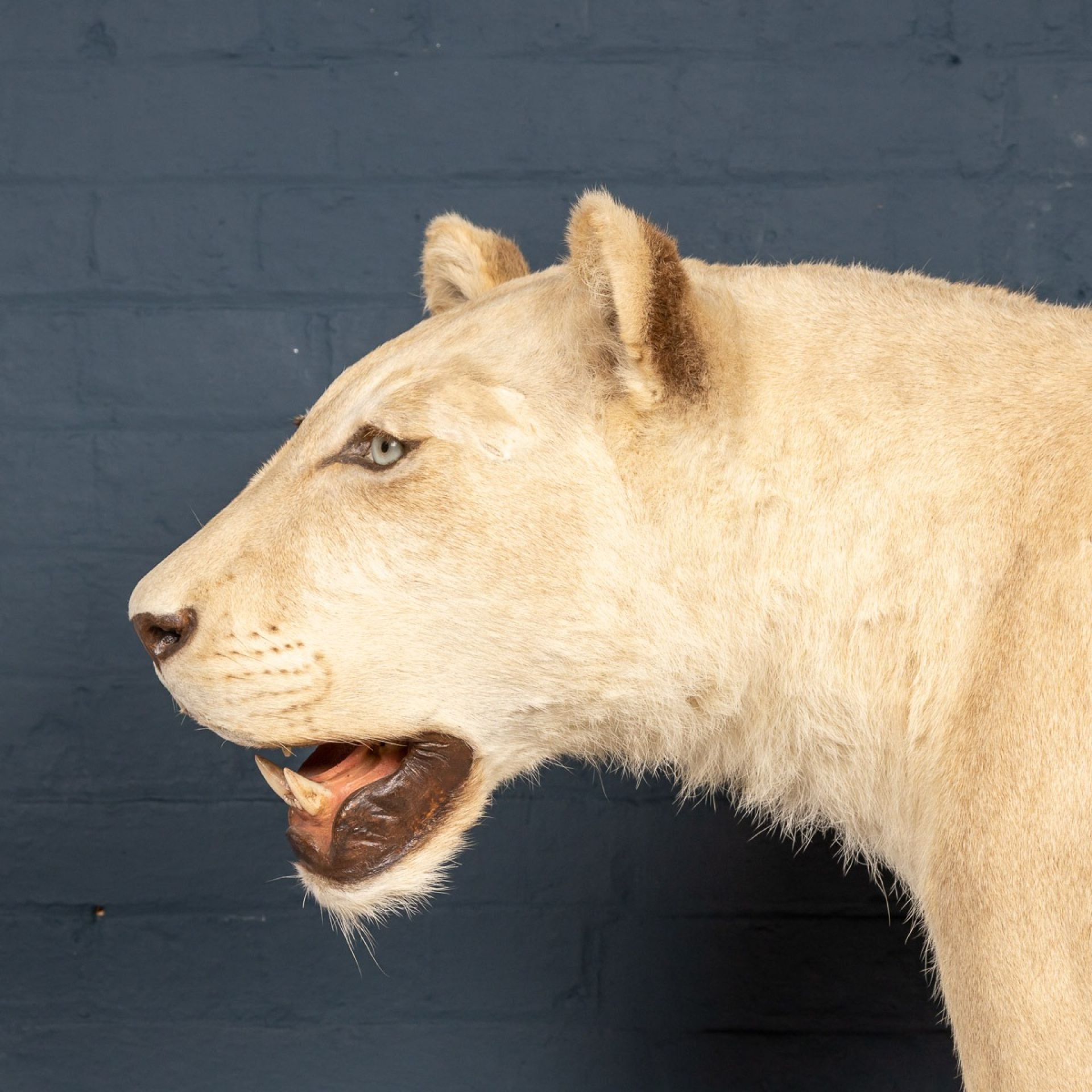LATE 20TH CENTURY FULL MOUNT TAXIDERMY STUDY OF A PROWLING LIONESS