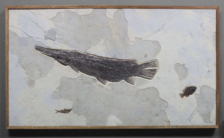 MAGNIFICENT FOSSIL GAR FISH FROM WYOMING
