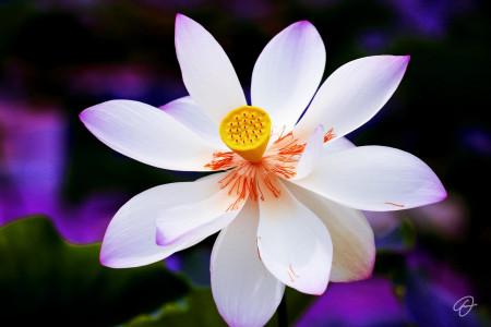 Fabio Dal Boni (Lotus Blossom, inch60x40)